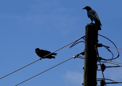crows on telgraph pole darkened
